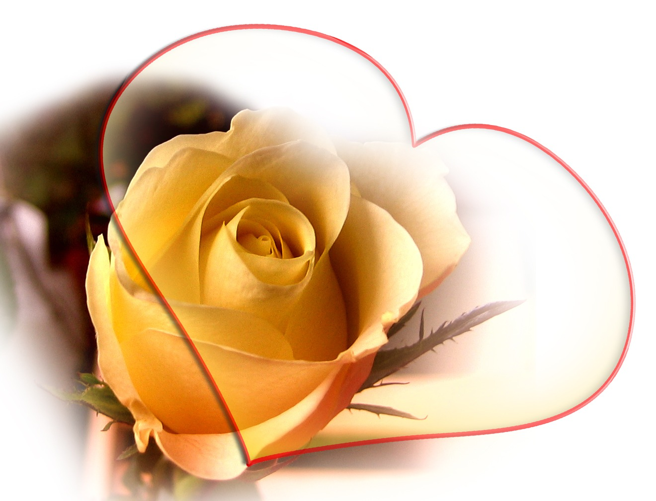 yellow love rose - HD1280×978